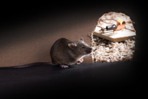 Rodent Removal Tampa Bay   Swat Exterminating